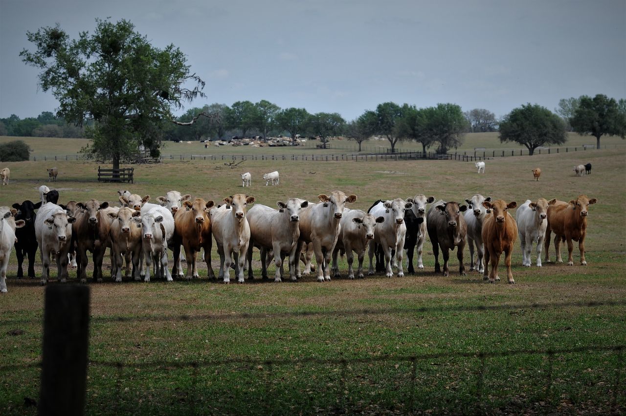 Check This Out Mammal Face Animal Themes Cattle Herd Animal Herd Of Cows Cows In A Field