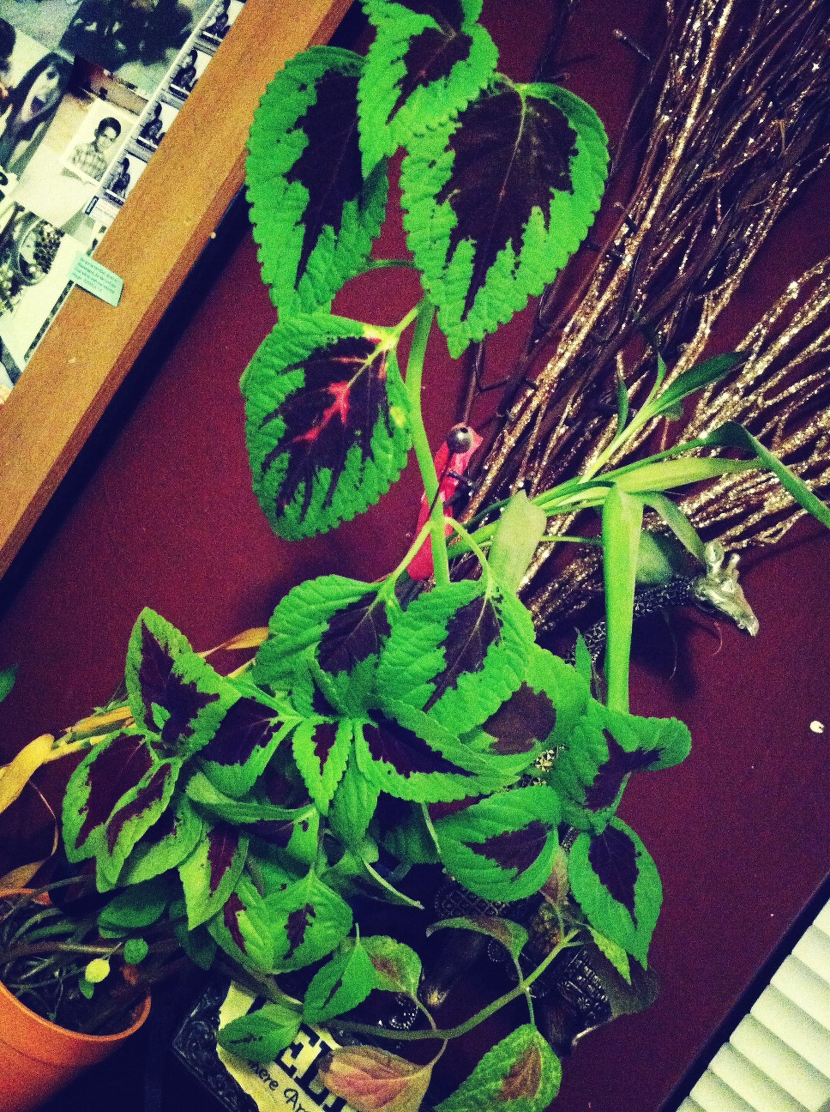 leaf, green color, potted plant, indoors, plant, growth, high angle view, freshness, close-up, green, nature, no people, table, home interior, decoration, day, growing, flower pot, front or back yard, house