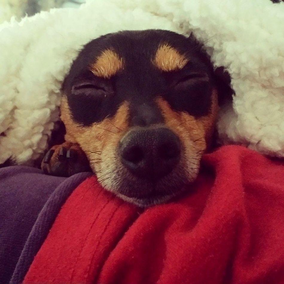 Dog Pinscher Zwergpinscher Christmas Puppy Natale  Cane Nanna Tired