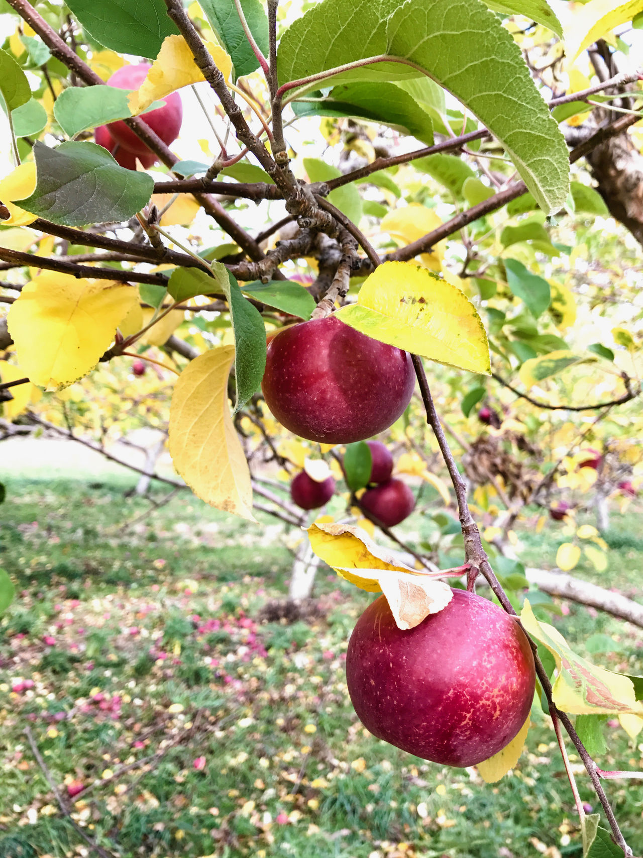 Apple picking in the Catskills, New York, USA. Photo by Tom Bland. Agriculture Apple Apple Picking Apples Autumn Autumnal Close-up Fall Food Food And Drink Freshness Fruit Growth Hanging Healthy Eating IPhone IPhoneography New York Orchard Orchards Outdoors Rural Seasonal Seasonal Fruit Tree
