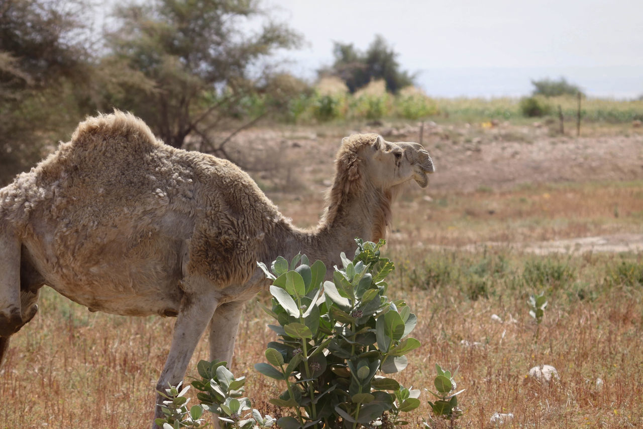 A Camel Beauty In Nature Camel Camel Hair Camel Hump Camel Riding Close-up Day Desert Desert Life Field Focus On Foreground Grass Grassy Green Color Growth Herbivorous Hump Landscape Mammal Nature No People Outdoors Plant Ride Transportation