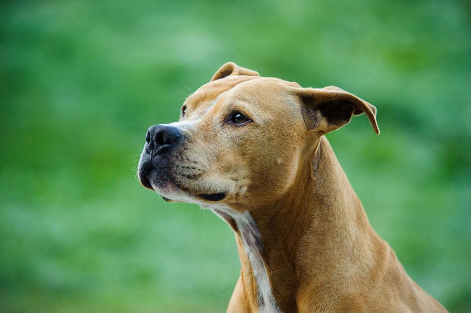 Beautiful stock photos of pitbull, American Pit Bull Terrier, Animal Themes, Carnivora, Day