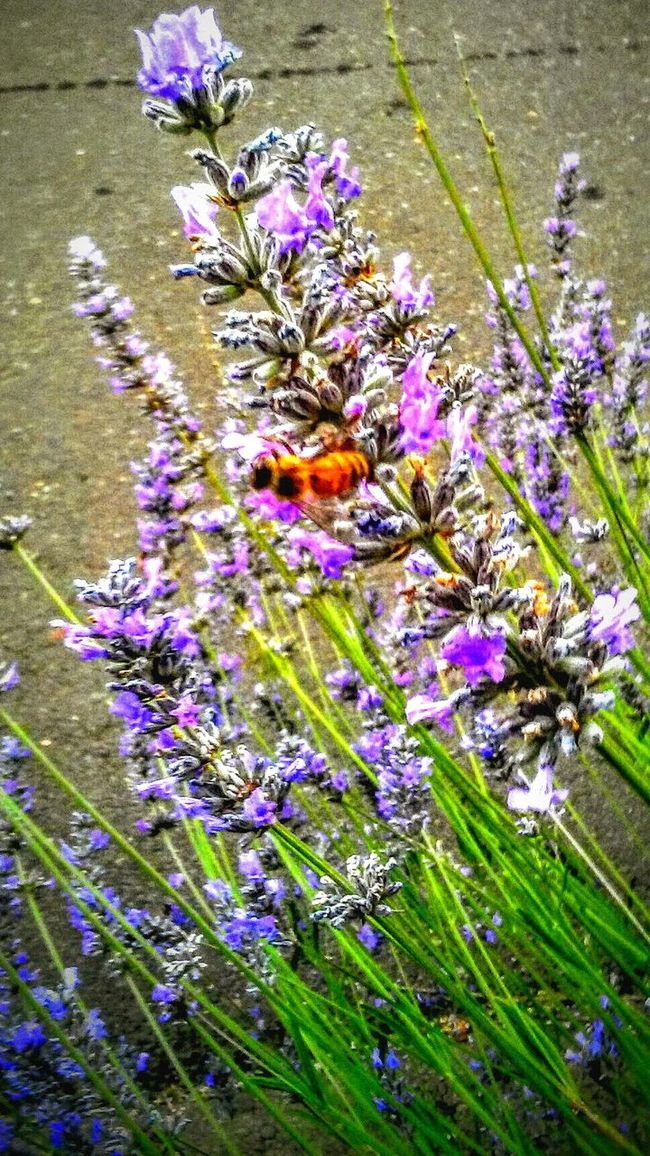 Working Bee HoneyBee Save The Honey Bees Pollination Lavander Taking Photos Check This Out Enjoying Life Labor Of Love Beautiful Garden Nature Photography Nature_collection HA! Birds And The Bees Downtown