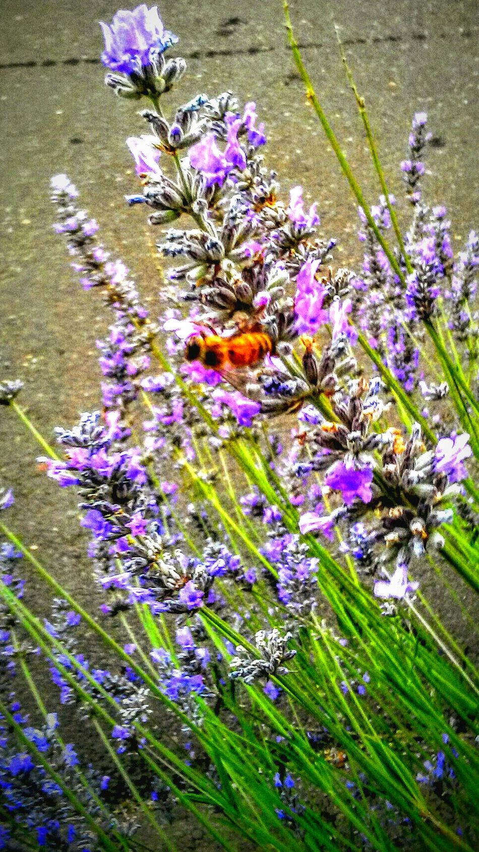 Working Bee HoneyBee Save The Honey Bees Pollination Lavander Taking Photos Check This Out Enjoying Life Labor Of Love Beautiful Garden Nature Photography Nature_collection HA! Birds And The Bees Downtown EyeEmNewHere