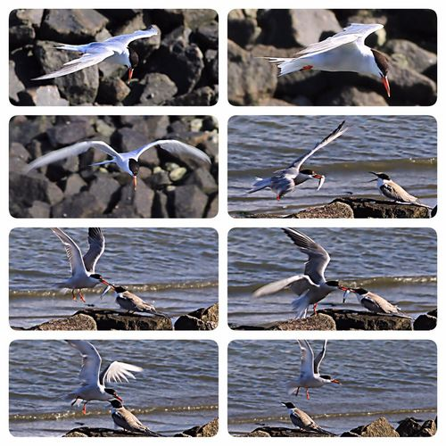 Brandseeschwalbe Futtern Flight Mother And Son Vogelflug Check This Out Collage 8 Bilder Wangerooge Nordsee Hafenfotografie Bird Photography Flying Bird Animals Animal Photography Fishing Looking For Food