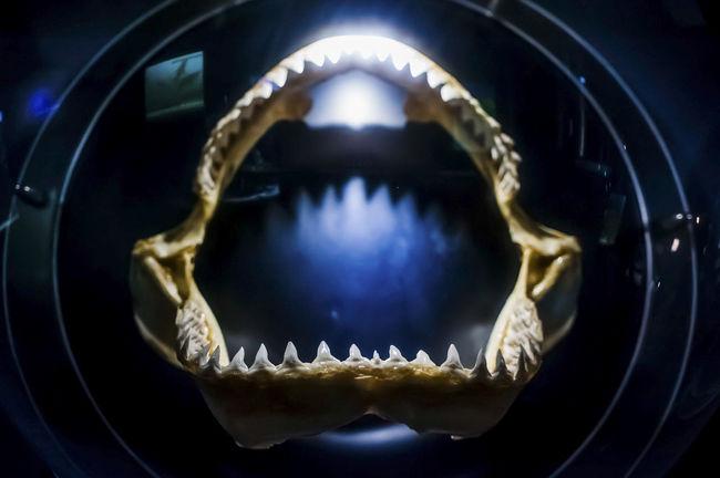 Bones Dead Fısh Displays Fossils Hanged Jaws Marine Life Objects Shark Teeth Sharp Still Life