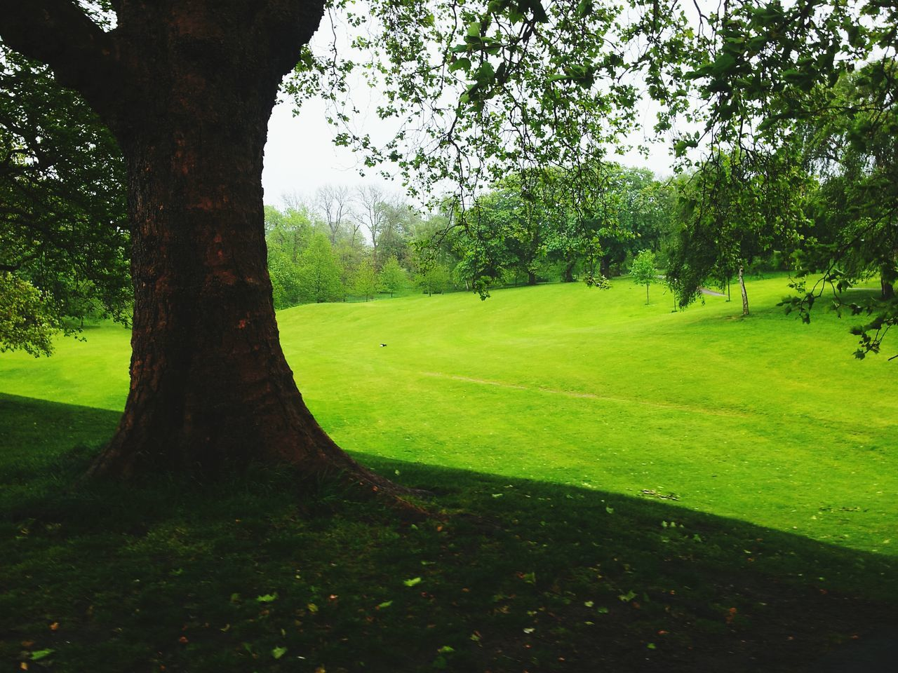 Tree Nature Grass Green Color Beauty In Nature Tree Trunk Growth Tranquility No People Landscape Outdoors Scenics Day Golf Golf Course Lush - Description Sky Green - Golf Course Greenwich,London LONDON❤ Grass Greenwich Park Beauty In Nature Nature London