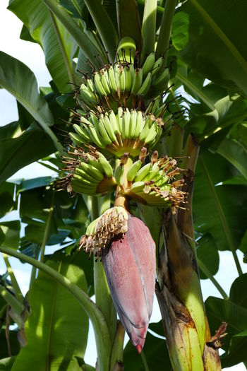 Banana tree with flower and fruits Banana Flowers Banana Tree Beauty In Nature Close-up Flower Flower Head Food Freshness Fruit Fruits In Thailand Green Color Growth Healthy Eating Leaf Nature No People Outdoors Plant Tree