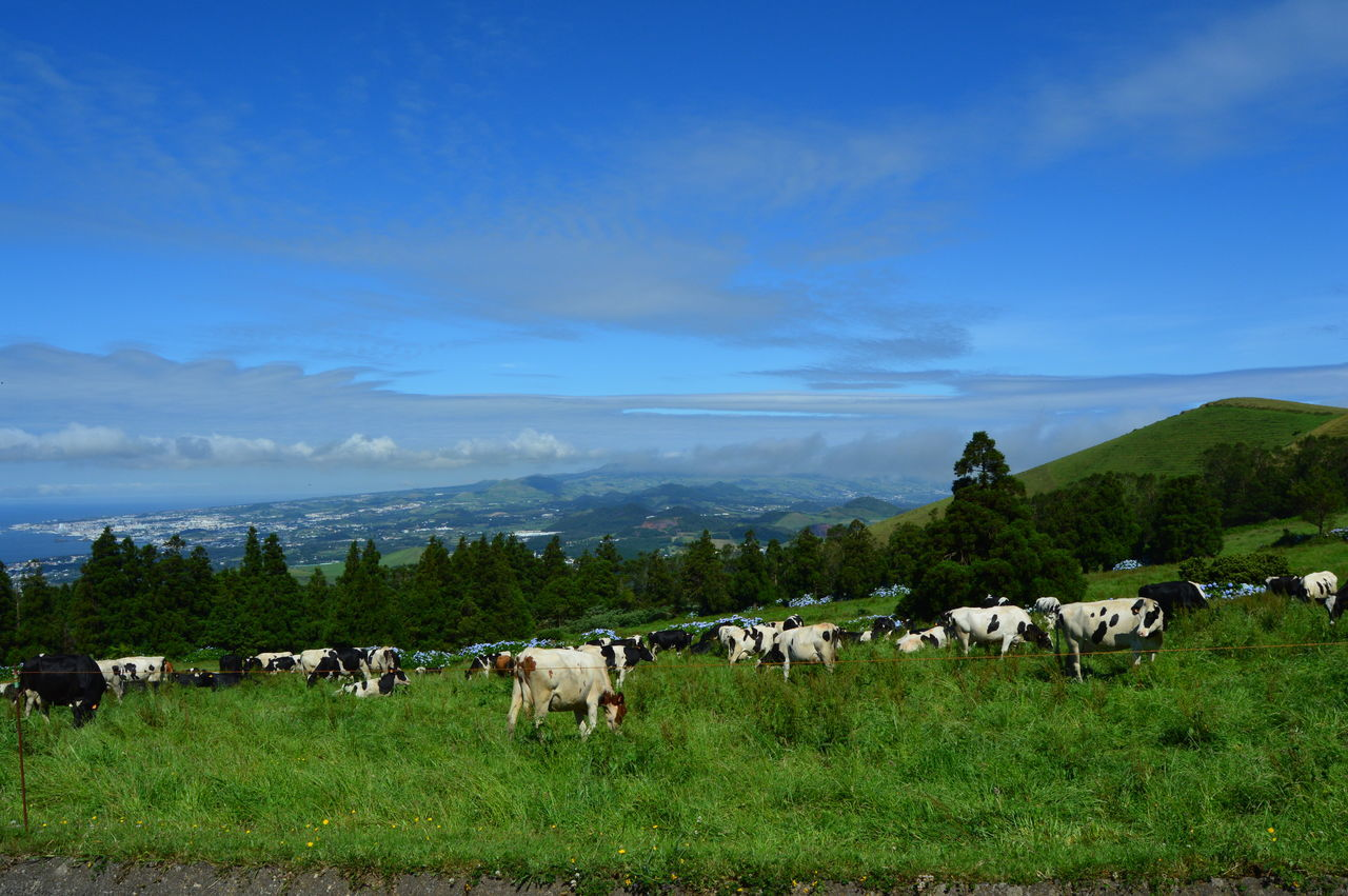 Agriculture Animal Animal Themes Azores Blue Cloud - Sky Day Domestic Animals Europe Flock Of Sheep Grass Grazing Herd Landscape Large Group Of Animals Livestock Mammal Milk Nature No People Outdoors Pasture Sheep Sky Tree