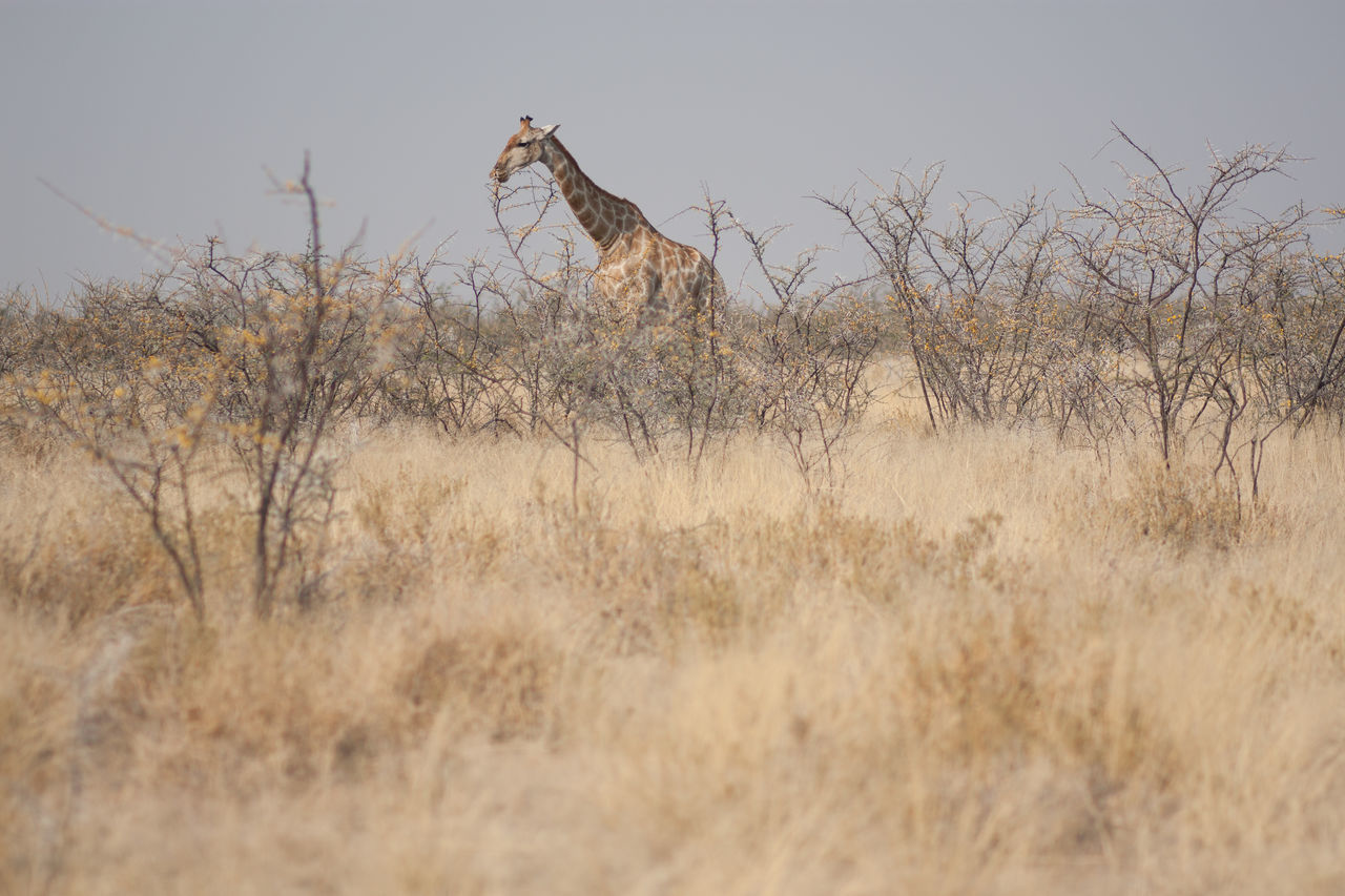 Beautiful stock photos of giraffe, Animals In The Wild, Arid Climate, Beauty In Nature, Bush