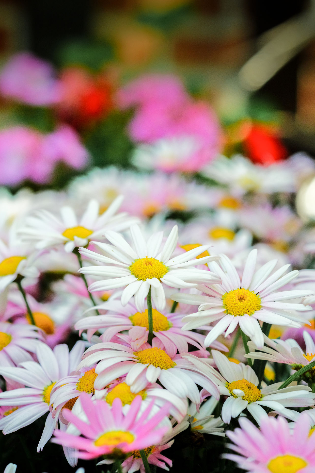 Beautiful stock photos of blumen, Beauty In Nature, Blooming, Daisy, Day