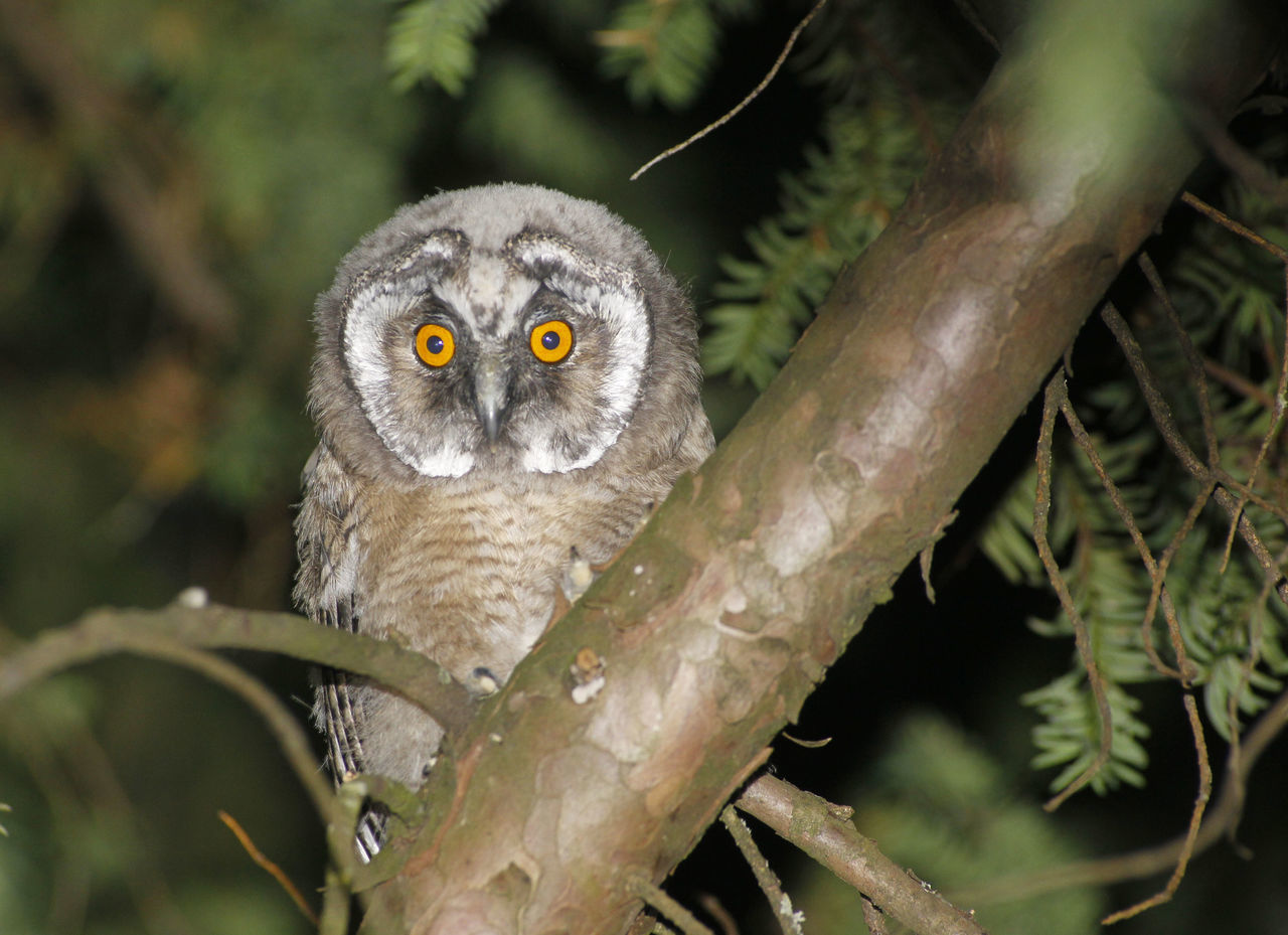 young owl , eagle owl, long eared owl. Animal Themes Animal Wildlife Animals In The Wild Bird Bird Of Prey Branch Close-up Day Eagle Owl  Juvenile Juvenile Birds Long Eared Owl Nature No People One Animal Outdoors Owl Owl Eyes Owl Photography Owls Portrait Tree Yellow Eyes Young Young Owl