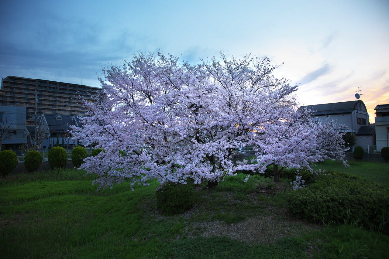 flower, blossom, tree, springtime, cherry tree, fragility, apple blossom, beauty in nature, nature, freshness, apple tree, botany, growth, orchard, no people, branch, outdoors, grass, day, building exterior, spring, sky, architecture, blooming, flower head