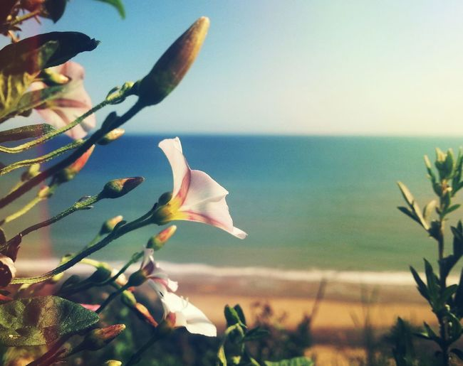 Towards the sun... Sea Ipomea Norfolk Uk Mundesley