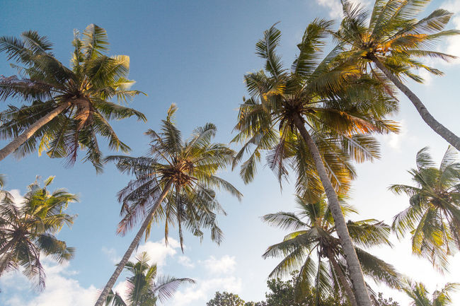 Beauty In Nature Blue Clear Sky Coconut Palm Tree Day Green Green Color Growth Low Angle View Nature No People Non-urban Scene Outdoors Palm Frond Palm Tree Scenics Sky Tall Tall - High Tranquil Scene Tranquility Tree Tree Trunk Treetop Tropical Tree