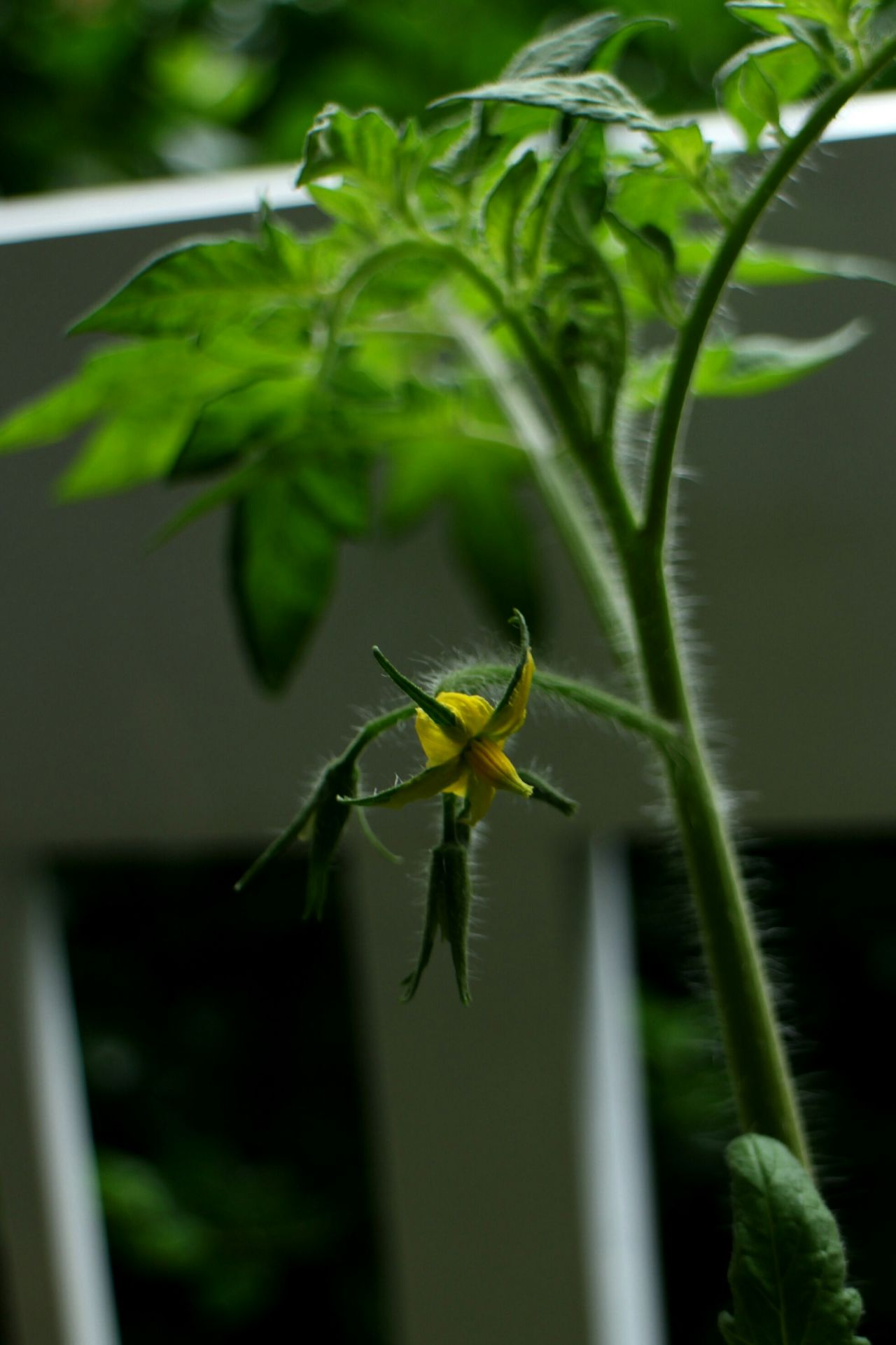 Virginia Container Gardening Tomatoes Gardening Flower