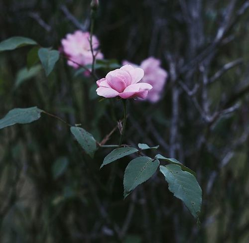 | 🌹 🍃 👆 | 23.11.15 ______________________________________ VSCO Vscocam Vscovietnam Vscoflowers Flower Vietnam Dalat Streetphotography Street Rosé Country Countryside Park Green Pink Fresh Plant Morning Road Love Cool Photooftheday Photos Tb View ontheroad nature fresh instadaily instagood instamood