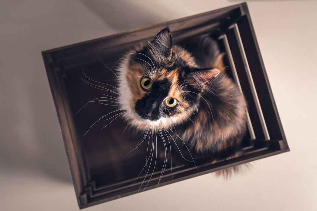 Portrait of Cat Animal Themes Cat Cats Close-up Day Domestic Animals Domestic Cat Feline Focus On Foreground Indoors  Maine Coon Maine Coon Cat Maine Coon Cats Maine Coon Mix Mammal No People One Animal Pet Pets Portrait