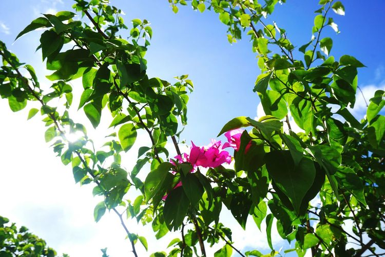 Flower Leaf Low Angle View Growth Nature Day Tree Outdoors Beauty In Nature Freshness Close-up Flower Head Pink Green Sunny Sunshine Sunlight Lovely Weather Sky Blue - Tai O 大澳 HongKong