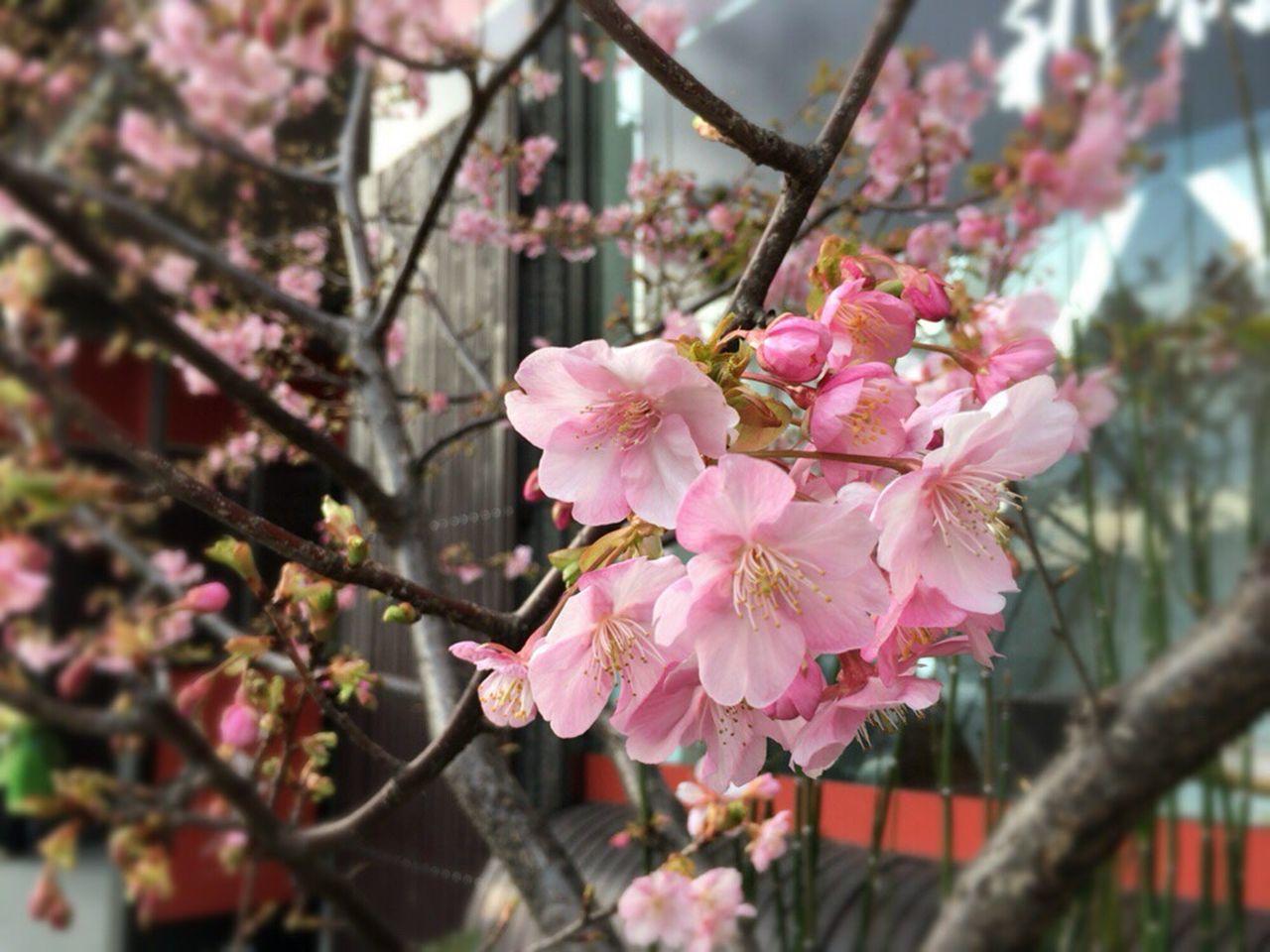 Kyoto City Cherry Blossom Sakura Kyoto,japan Cherry Blossoms Kyoto Cherry Blossom Sakura 2017 Kyoto Spling Flower Kyoto Spling Kyoto Sakura Kyoto Sakura 2017