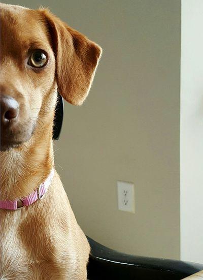 My Dog Ruby Dogface Love Hithere Cute Dog Beautiful Portrait Peekaboo Dogportrait Dogsofeyeem Hello Pink Pinkcollar Portrait Photography