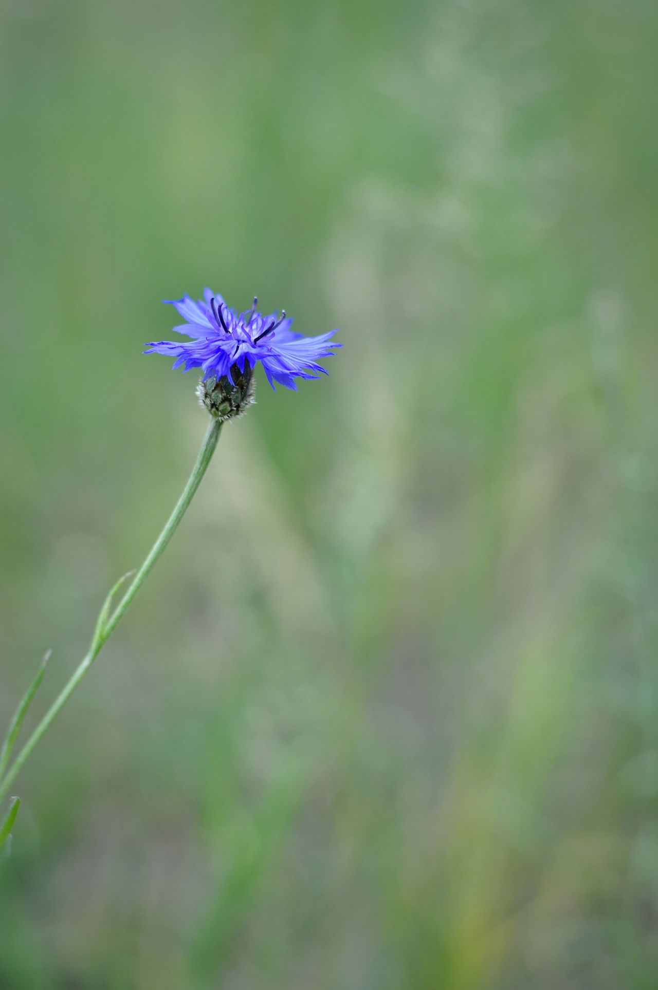 Blue Flowers Green Field Grass Naturelovers Nature Minimalism Natural Beauty Beauty In Nature Outdoors Nature_collection Nature Photography Flowers Flower Field Flowers Cornflower