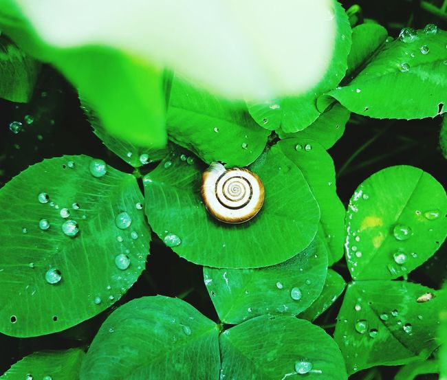 Zoom Hiding From The World Hiding Secret Spot Mothernature Animalportrait Green Green Color Green Green Green!  Rain Raindrops Posey Snail Snail Collection Nature_collection Nature Nature Photography Alllifematters Summer 2016 Plant Outside Photography Showcase July Showcase July 2016 Details