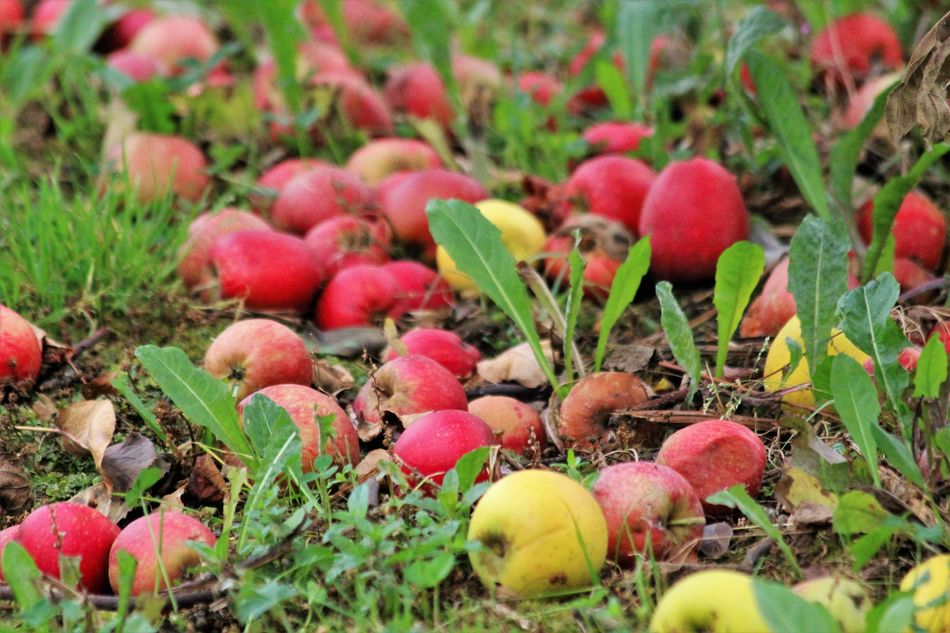 Apples Autumn Is Coming Beauty In Nature Day Fallen Apples Freshness Fruitplukdag Green Green Color Growth Large Group Of Objects Multi Colored Nature See What I See Selective Focus Variation Walking Around Taking Pictures