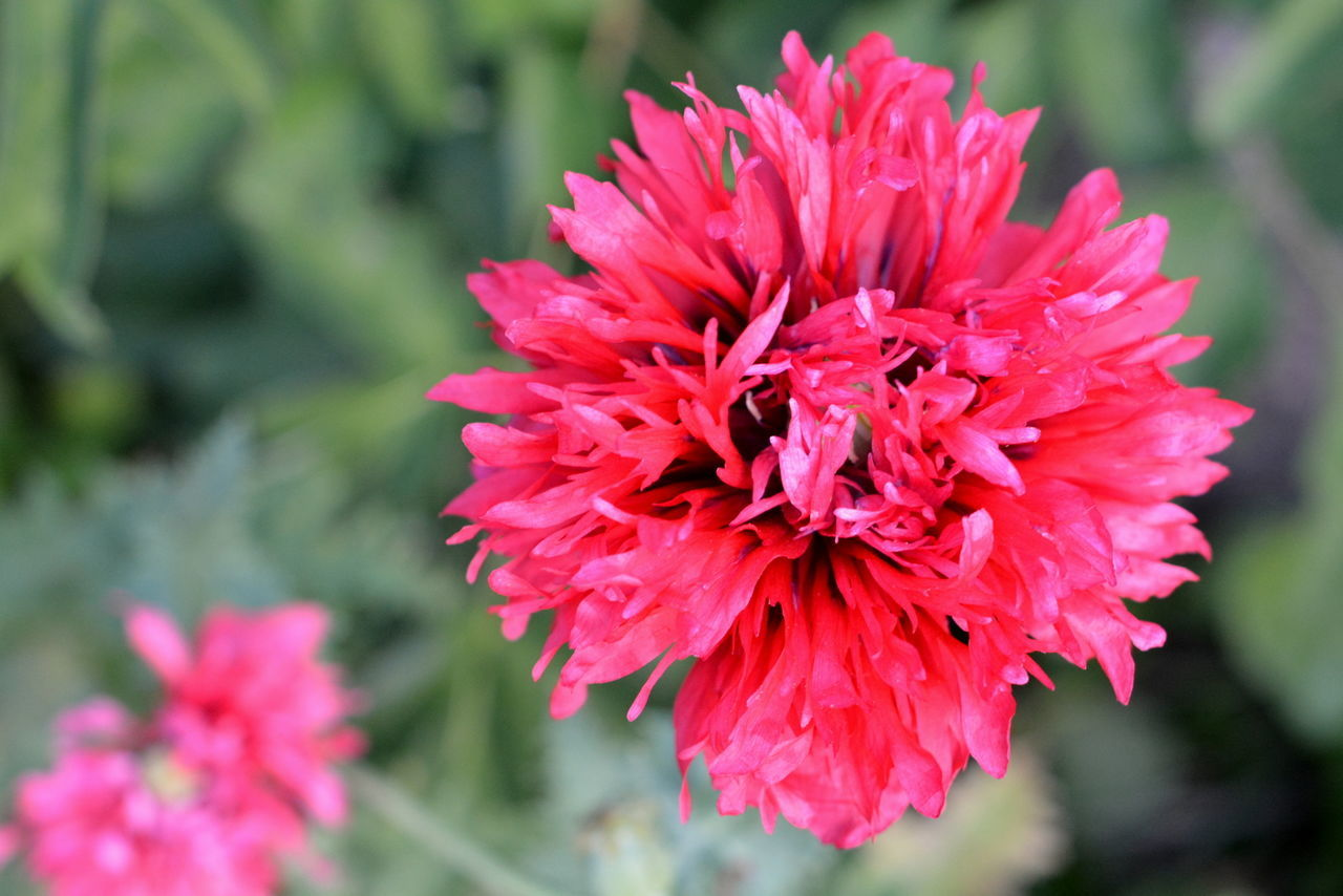 flower, beauty in nature, petal, nature, growth, fragility, flower head, freshness, no people, focus on foreground, day, outdoors, red, plant, close-up, blooming