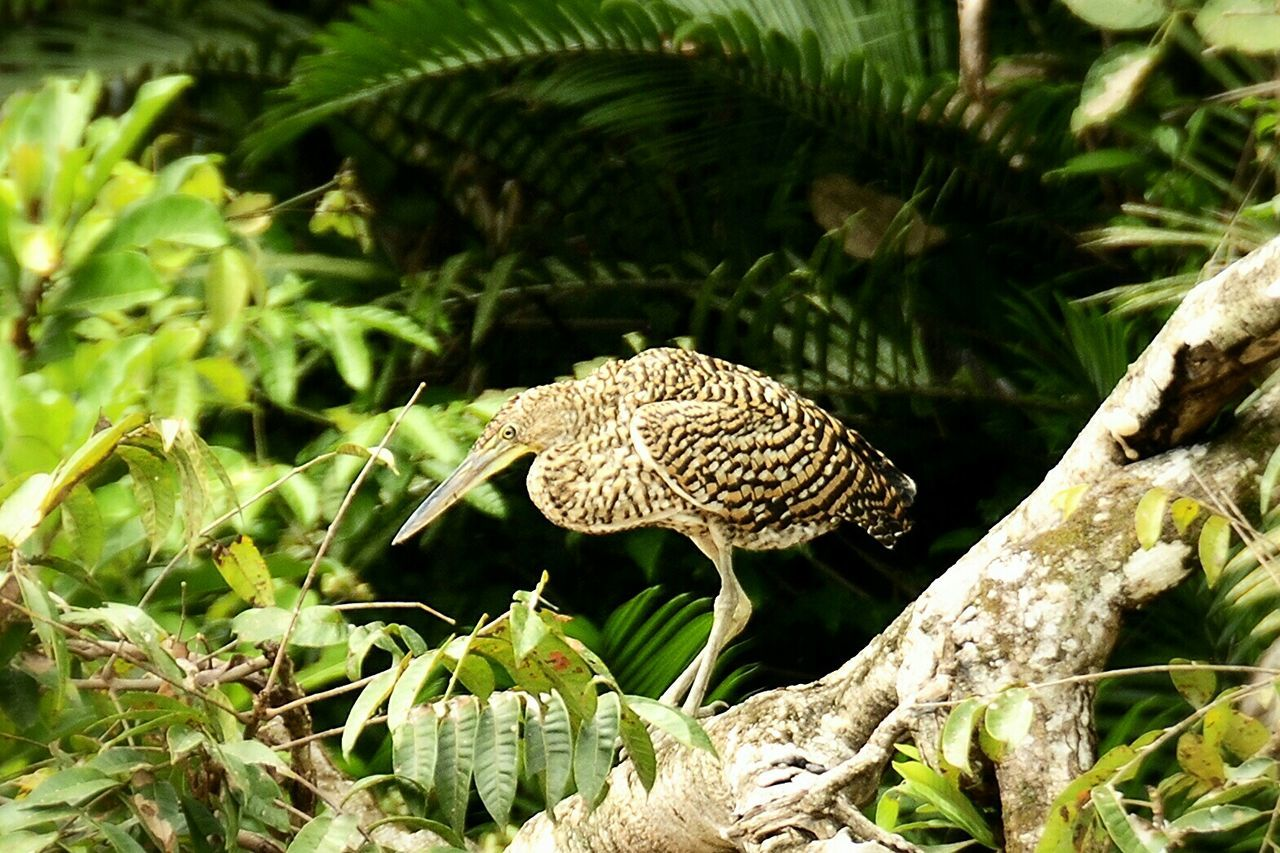 Tiger Heron Cano Negra Costa Rica (c) 2015 Shangita Bose All Rights Reserved Snbcr Nature's Diversities