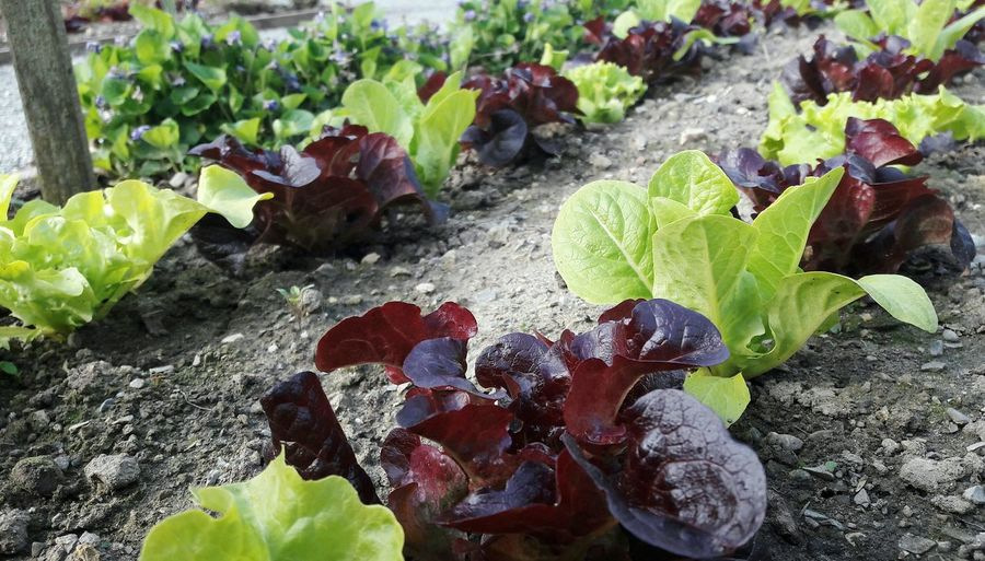 Vegetable Growth Plant Nature Leaf Gardening Garden Photography Spring Vegetable Garden Freshness No People Outdoors Healthy Eating Soil Leaf Salad Self Sufficiency Urban Gardening Close-up Day Garden Love Food Springtime