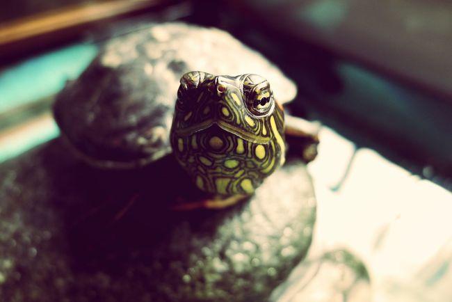 Turtle Safuca