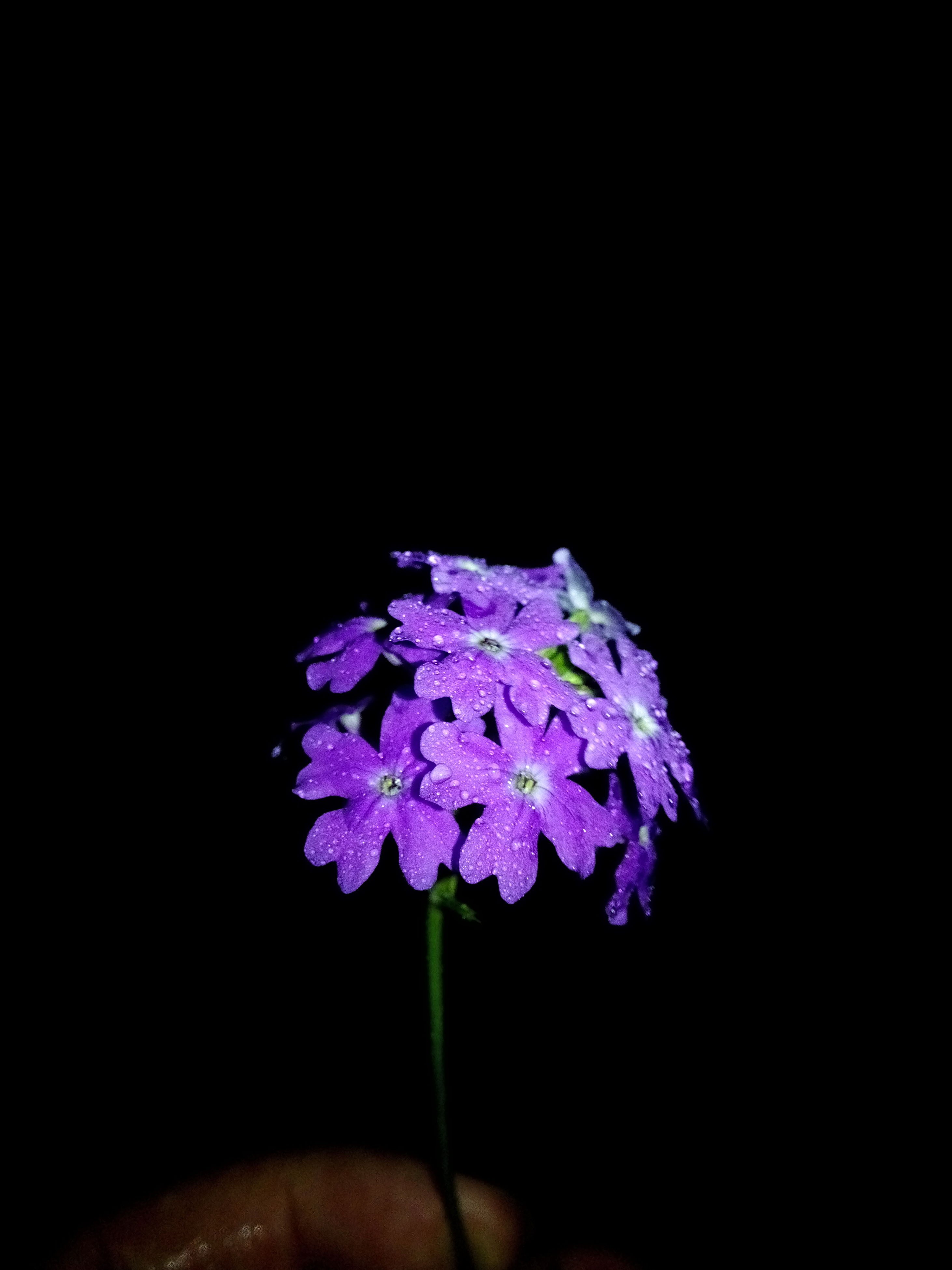 flower, purple, fragility, studio shot, freshness, petal, black background, copy space, beauty in nature, flower head, night, close-up, growth, nature, blossom, in bloom, no people, plant, blooming, bunch of flowers