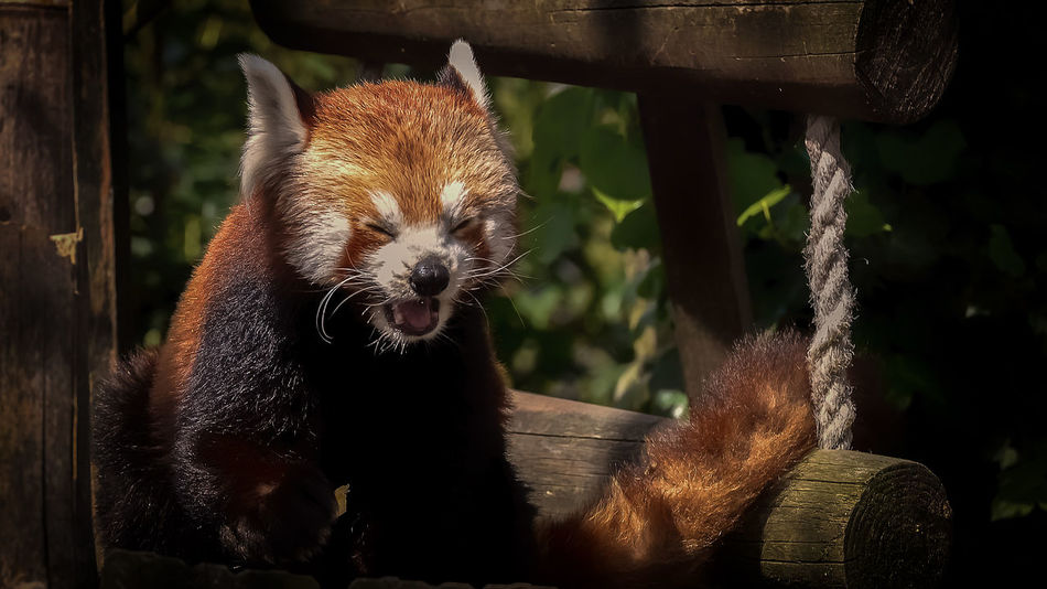 Animal Themes Animal Wildlife Animals In The Wild Close-up Day Domestic Animals Focus On Foreground Mammal Nature No People One Animal Outdoors Panda Panda - Animal Portrait Red Panda Whisker