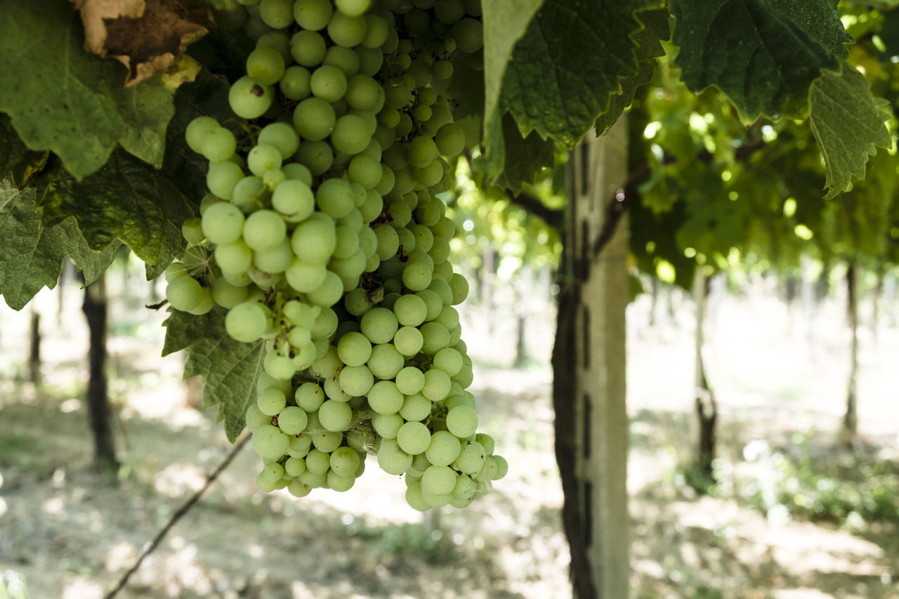 Vineyards  Agriculture Beauty In Nature Bunch Close-up Day Focus On Foreground Food Food And Drink Freshness Fruit Grape Grapes Green Color Growth Hanging Healthy Eating Leaf Leaves Nature No People Outdoors Tree Unripe Vineyard