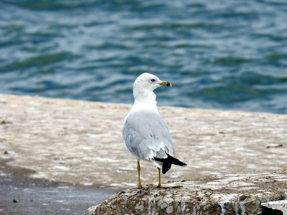 Bird Photography Birds🐦⛅ Birds Seagulls At The Lake Seagull. Seagull Serenity Bird Birds_collection Seagull Birdphotography Seagulls Flying Seagull, Birds, Flight, Fly, Hover, Feathers, Wings, Beaks, Span,