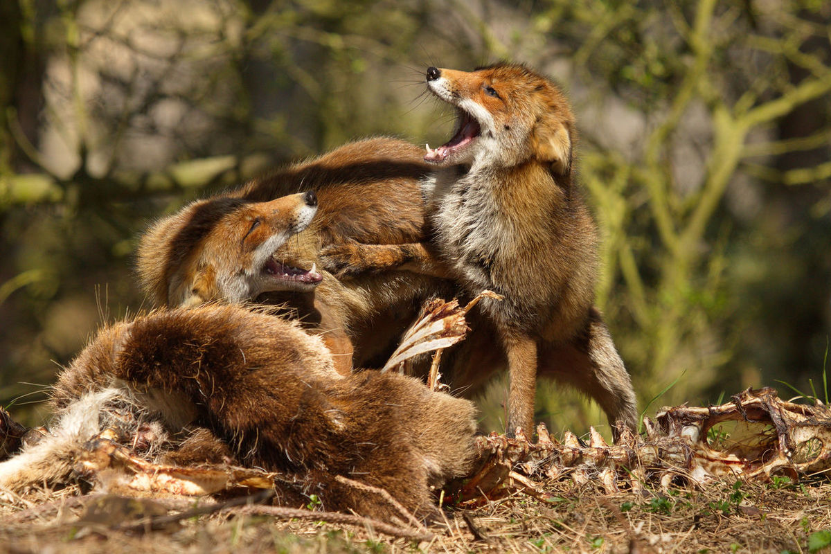 Amsterdamse Waterleidingduinen Animal Themes Beauty In Nature Close-up Fighting Foxes Forest Fox🐺 Mammal Nature Vos Wildlife