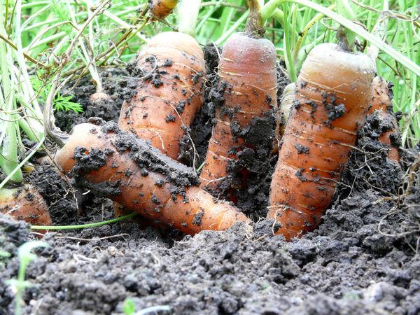 Carrots Close-up Day Ernte Erntezeit Grass High Angle View Mohrrüben Möhren Nature No People Outdoors Wurzelgemüse Wurzeln ökoanbau