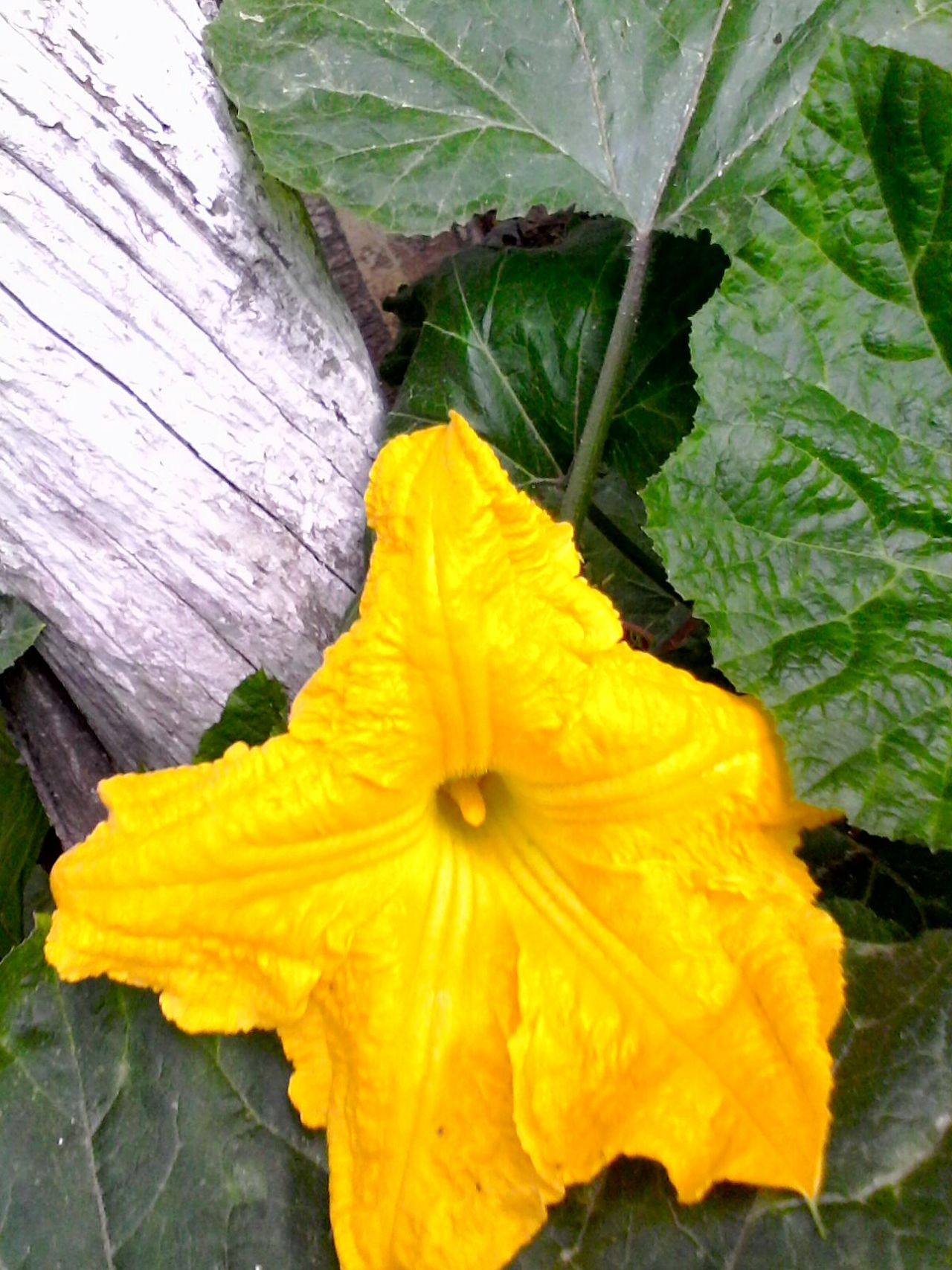 Pumpkin Flower Plants Showcase: 2016 Ionitaveronica Eyeem Market @wolfzuachis Romanian  Enhanced Original Content Wolfzuachis Slowfood Green Vines Pumpkin Blossom Showcase: August Eyeemphoto Nature Plant Pumpkin Plant Blossom In My Backyard Pumpkin Leaves 2016 Autumn Pumpkin Vines