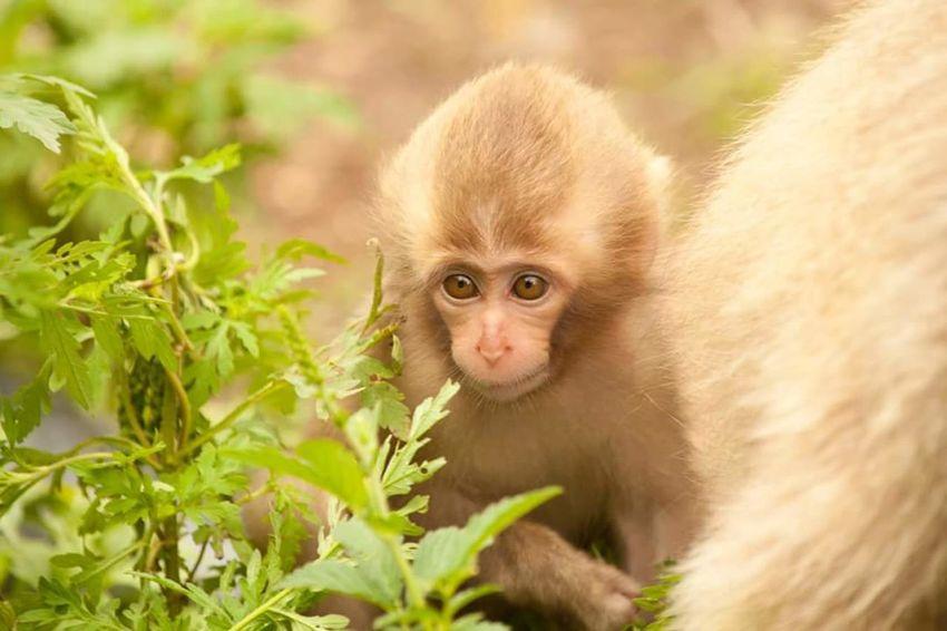 Monkey Animal Themes Young Animal Baby Japanese Monkey Animal