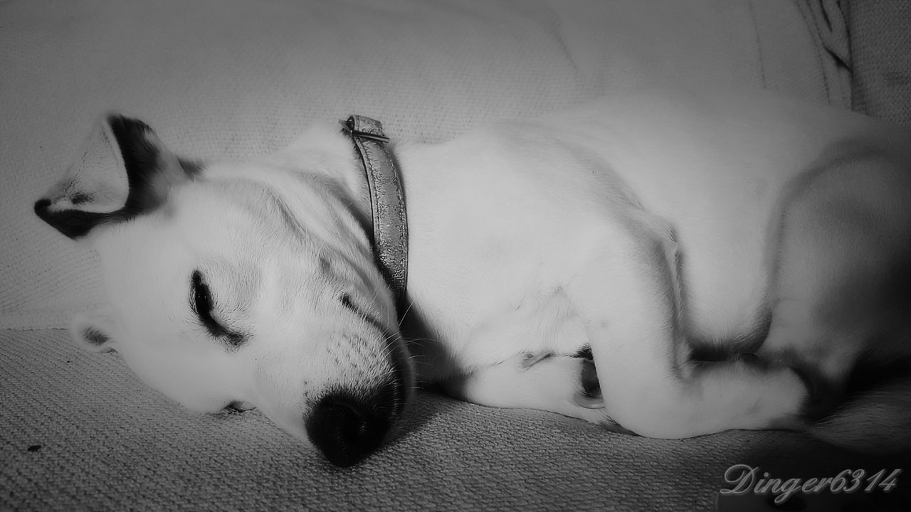 My Beautiful Jackrussell Jackrussellterrier Mitzi Rainbow Bell Sleeping Dog Blackandwhite
