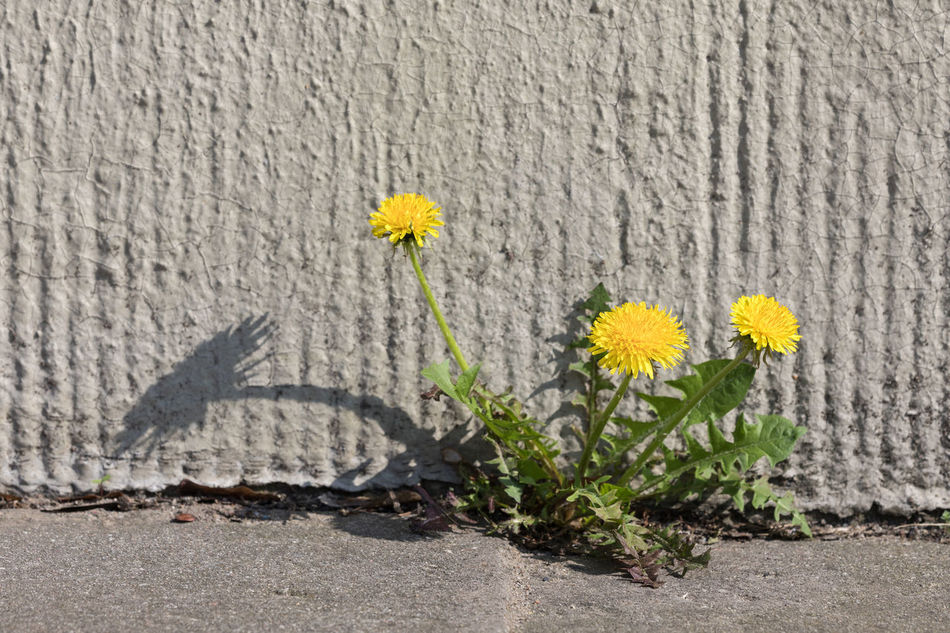 Dandelion growing out of a crack at a house wall City Close-up Concrete Cracked Dandelion Pattern Determination Flower Strength Fragility Growth In Bloom Nature Textured  Outdoors Plant Power In Nature Shadow Springtime Struggle Sunny Survival Uncultivated Wall - Building Feature Yellow