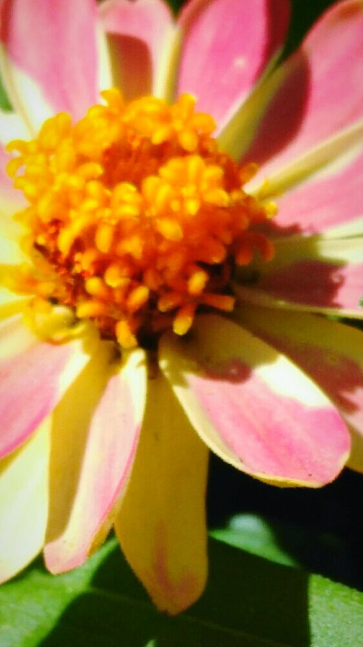 flower, petal, fragility, beauty in nature, freshness, nature, flower head, growth, close-up, pink color, blooming, no people, yellow, outdoors, day, plant, zinnia