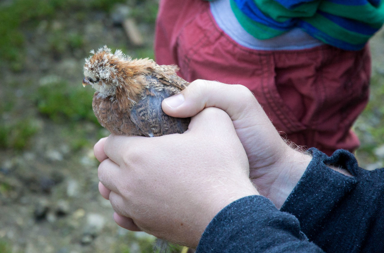 Animal People Human Hand Outdoors Focus On Foreground Pets Holding Chick Farm Day Human Body Part Domestic Animal Holding Animals Bird England Uk United Kingdom Young Bird One Animal