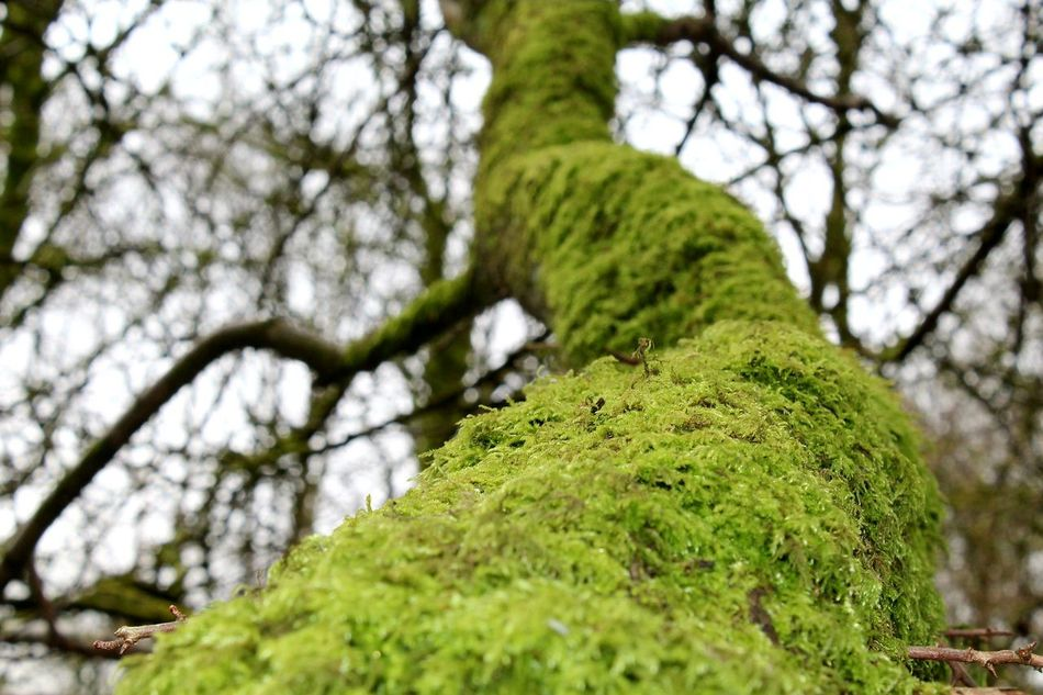 Tree Low Angle View Green Color Nature Tree Trunk Growth Textured  Close-up Beauty In Nature Outdoors Day Colours Colours Of Nature Trees_collection Treetastic Treelovers Mossy Trees Moss