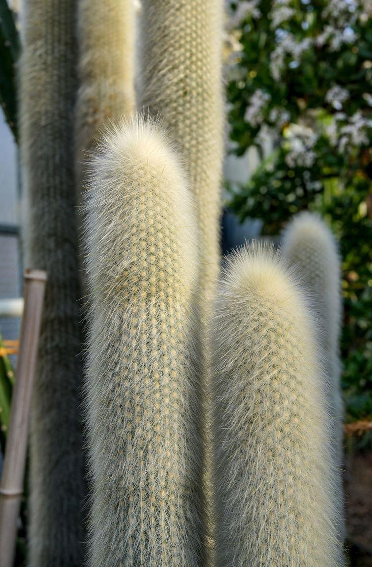 Behaart Blätter Gewächshaus Beauty In Nature Cactus Close-up Day Growth Nature No People Outdoors Säulenkaktus