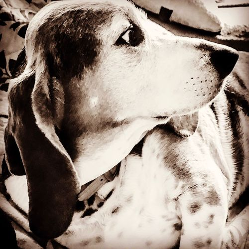 Profile of my handsome hound Domestic Animals Mammal One Animal Pets Dog Close-up No People IPhone7Plus Pampered Pooch Ilovemybassethounds Bassethoundadventures Bassethoundsare Best Portrait Lying Down Animal Head