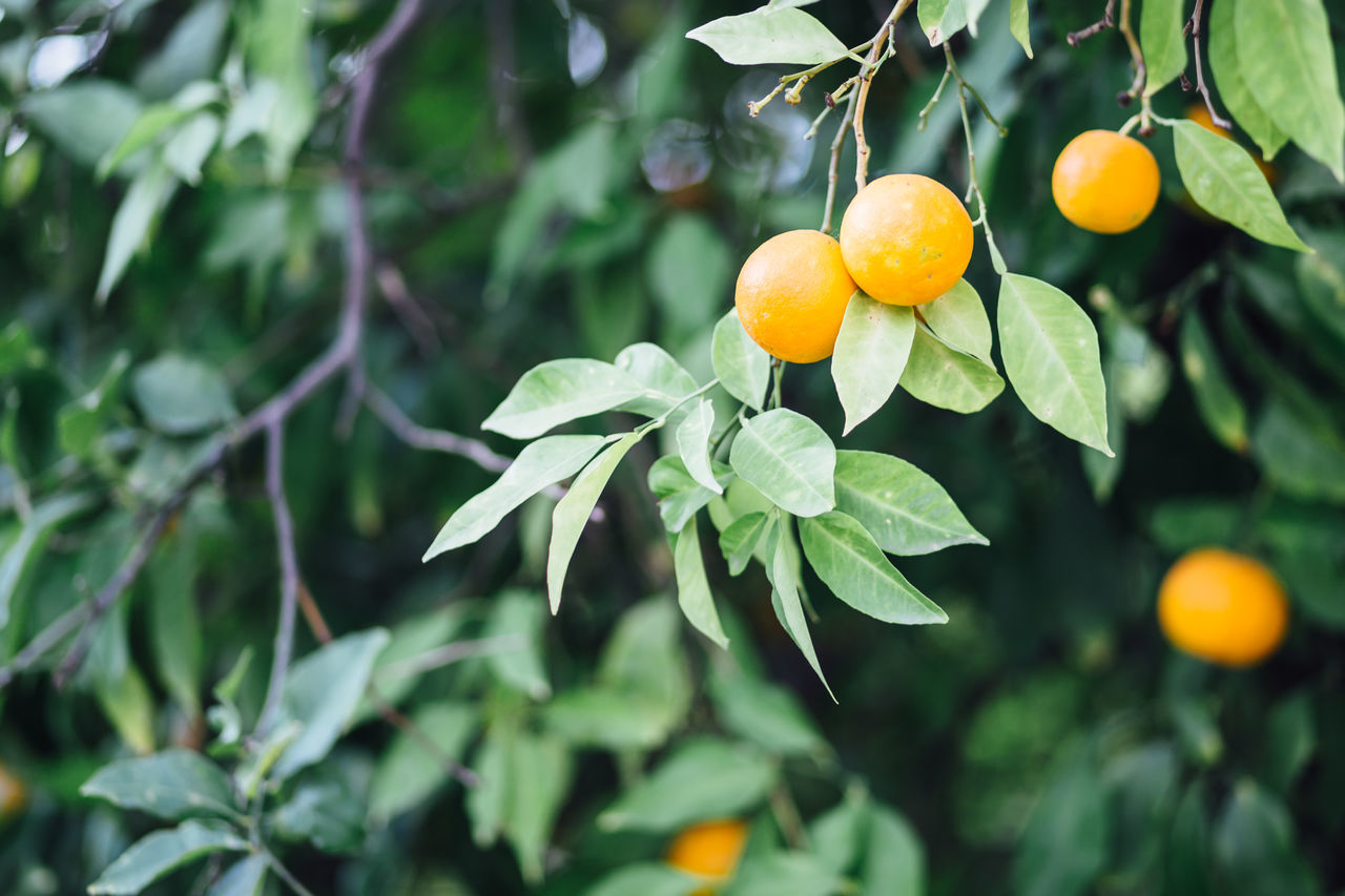 Beautiful stock photos of obst, Agriculture, Branch, Citrus Fruit, Day
