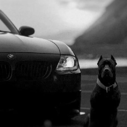 Bmw Z4 Black White love german stil dog pit turkey tr manisa 45 aşk tutku özlem love verygood