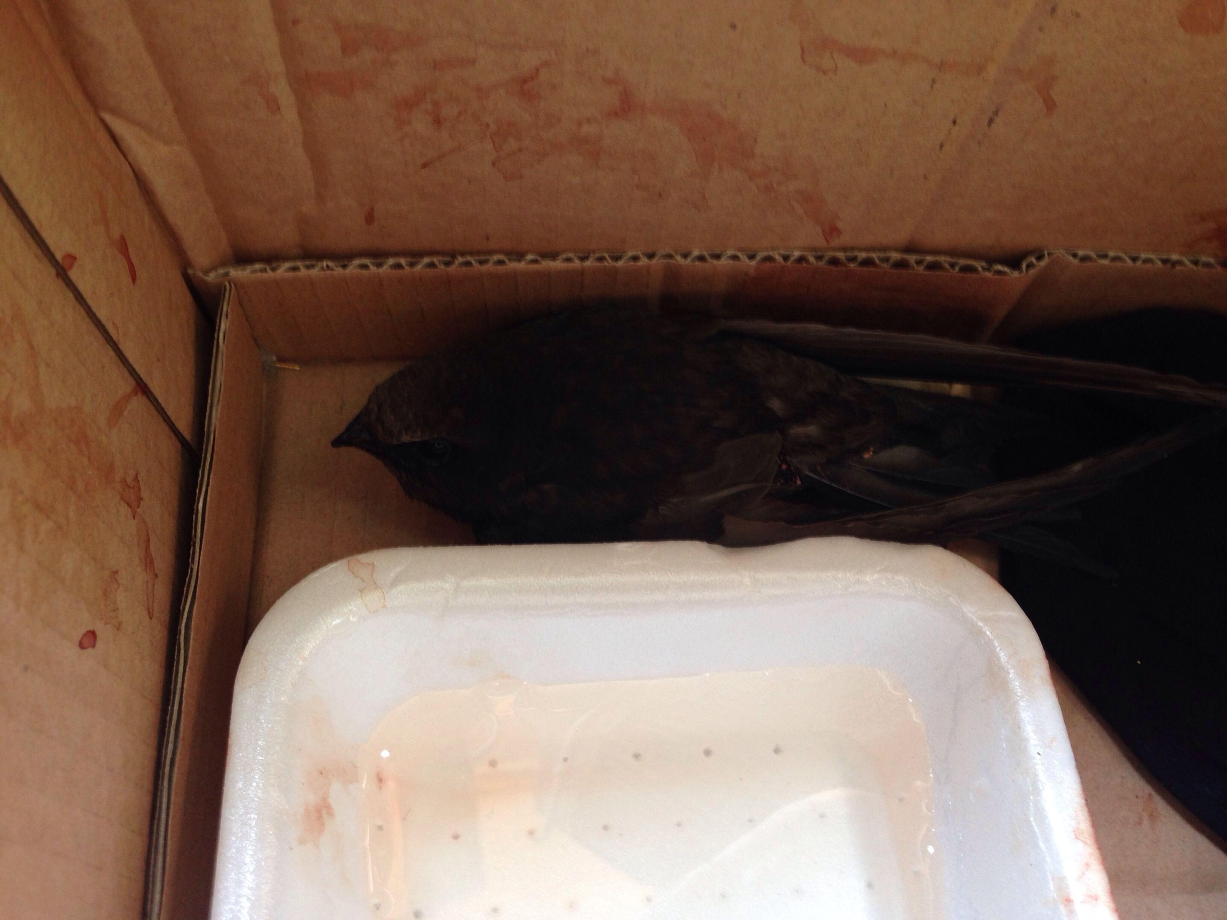 Sti rondoni sempre qui se ferisce Rondonecomune Blackbird Poorbird Il4'